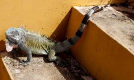 Iguana sul Curacao Fotografia Stock