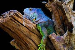 Iguana sul legno fotografia stock