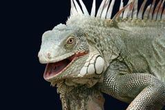 Iguana sul nero Fotografia Stock Libera da Diritti