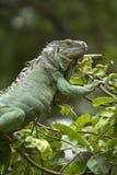 Iguana sull'albero Fotografia Stock