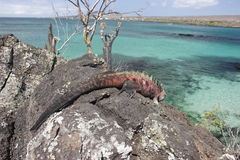 Iguana sull'isola di Floriana Fotografie Stock