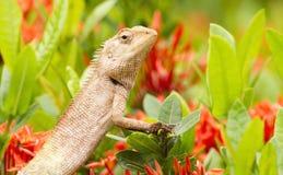 Iguana sulla priorità bassa del giardino di fiore Fotografia Stock