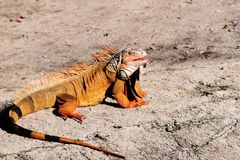 Iguana In the Sun Stock Photos