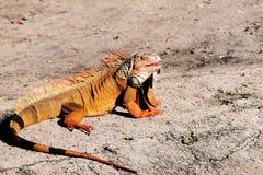 Iguana In the Sun stock photos
