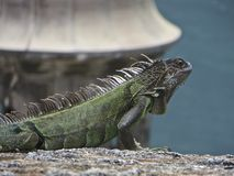 Iguana in the Sun stock photography