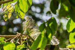 Iguana sunbathe Stock Images