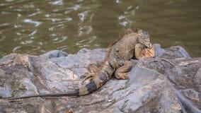 Iguana Resting On Rock stock photo