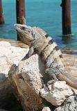 Iguana sunning on rock Royalty Free Stock Image