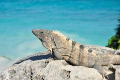 Iguana Sunning on a Rock. Green Iguana or Common Iguana (Iguana iguana) on Rack by the Sea Royalty Free Stock Images
