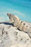 Iguana Sunning on a Rock. Green Iguana or Common Iguana (Iguana iguana) on Rack by the Sea Royalty Free Stock Photography