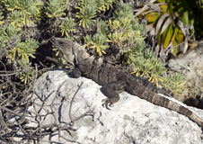 Iguana sunning on a rock, Puerto Aventuras, Mexico Royalty Free Stock Image
