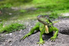 Iguana on a Sunny Day Stock Photos