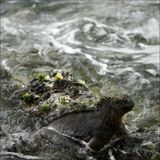 The iguana in a surf. Royalty Free Stock Photo