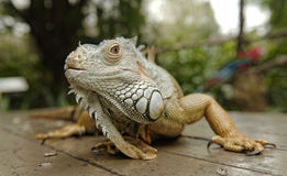 Iguana on table Stock Photo