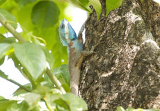 Iguana tailandese Fotografia Stock Libera da Diritti