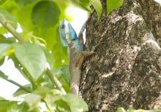 iguana tajlandzka Zdjęcie Royalty Free