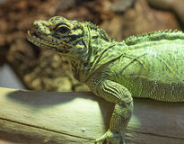Iguana. An iguana taken in the foreground on a tree branch Stock Photos