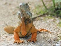 Iguana Taking Sun. On white rocks royalty free stock image