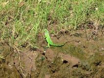 Iguana Tarcoles Costa Rica Fotografía de archivo