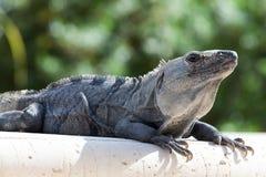 Iguana target95_0_ na skale Zdjęcia Royalty Free