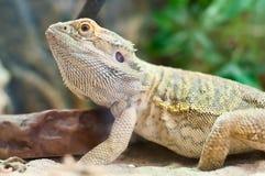 Iguana in terrarium Stock Images