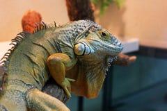 Iguana in the terrarium royalty free stock images
