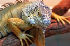 Iguana in the terrarium. stock photography