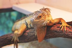 Iguana in the terrarium royalty free stock photography