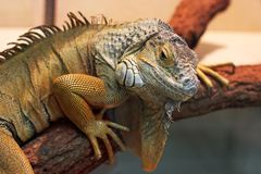 Iguana in the terrarium royalty free stock image