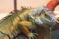 Iguana in the terrarium stock images