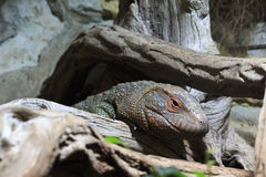 Iguana in terrarium. Stock Photo