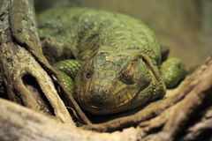 Iguana in terrarium. Royalty Free Stock Image