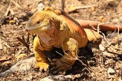 Iguana Terrestre Stock Photo