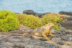 Iguana terrestre delle Galapagos fotografia stock
