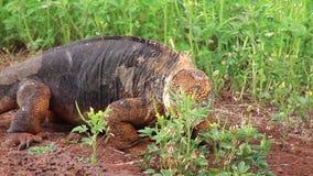 Iguana terrestre delle Galapagos che mangia i fiori parco nazionale sull'isola del nord di Seymour, Galapagos, Ecuador archivi video