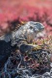 Iguana terrestre delle Galapagos che si siede sulle piante immagine stock