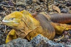 Iguana terrestre delle Galapagos, isola di Santa Cruz, Ecuador fotografia stock libera da diritti