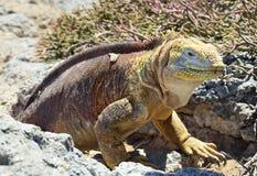 Iguana terrestre delle Galapagos (subcristatus di Conolophus), fotografie stock