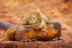 Iguana terrestre delle Galapagos sull'isola del nord di Seymour, Galapagos Nationa Immagini Stock Libere da Diritti