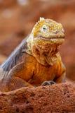 Iguana terrestre delle Galapagos sull'isola del nord di Seymour, Galapagos Nationa fotografia stock libera da diritti