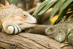 Iguana testa a testa Fotografia Stock Libera da Diritti