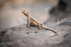 Iguana ,Thai Iguana ,Asian iguana. Iguana on the rock in ThailandThai Iguana ,Asian iguana spotted outdoors. Asian royalty free stock photos