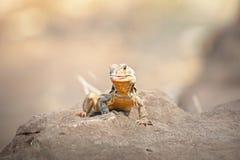 Iguana ,Thai Iguana ,Asian iguana. Iguana on the rock in ThailandThai Iguana ,Asian iguana spotted outdoors. Asian royalty free stock photography