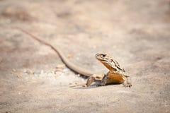 Iguana ,Thai Iguana ,Asian iguana. Iguana on the rock in ThailandThai Iguana ,Asian iguana spotted outdoors. Asian royalty free stock images