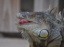 Iguana Tongue Stock Photo