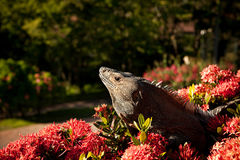Iguana on top Stock Photography
