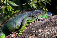Iguana in Tree. Green iguana sitting on a branch Royalty Free Stock Photos