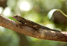 Iguana on a tree Royalty Free Stock Photography