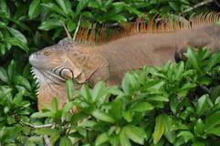 Iguana in tree Royalty Free Stock Photos