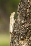 Iguana on Tree Stock Image